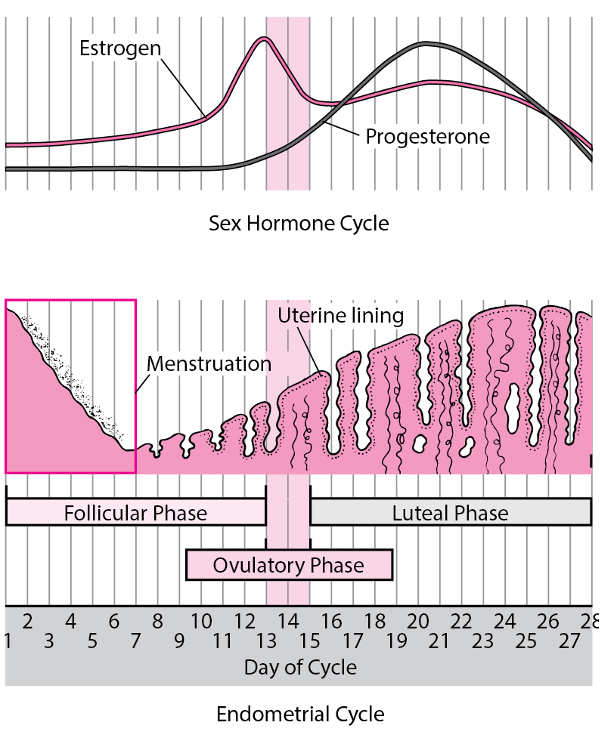 Graph of menstrual cycle